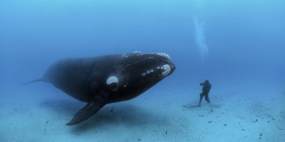 The diver and the right whale